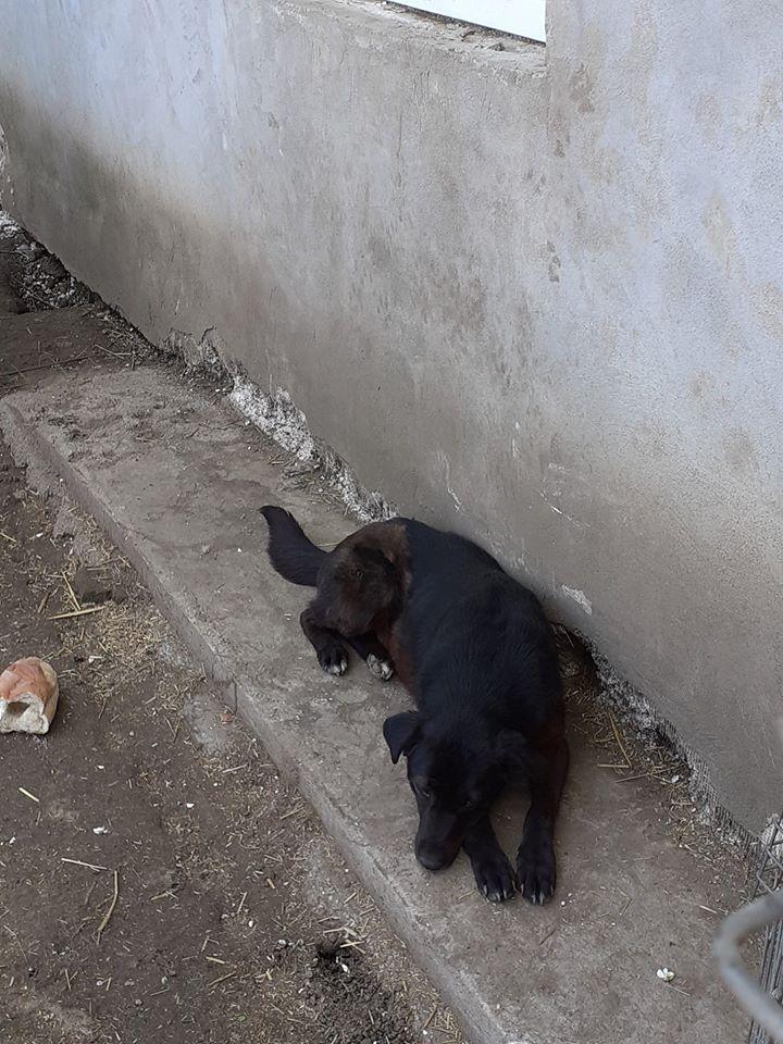 Christo - CHRISTO, mâle, noir poitrail blanc, né en NOV 2017, portée de Naola trouvé enfermé dans un sac- Marrainé par Magda D. -R-SC 97075810