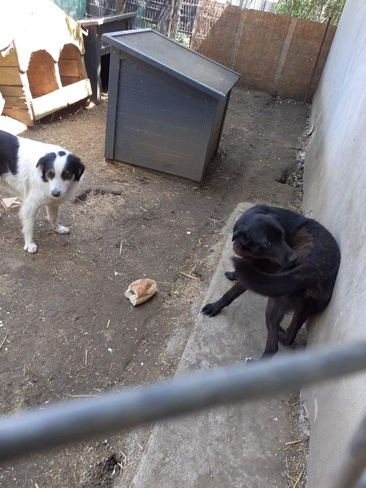 Christo - CHRISTO, mâle, noir poitrail blanc, né en NOV 2017, portée de Naola trouvé enfermé dans un sac- Marrainé par Magda D. -R-SC 97474210