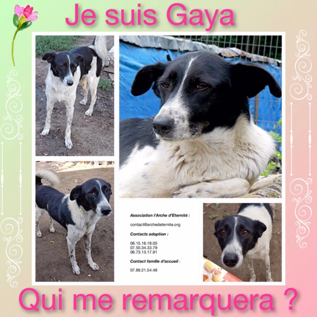 GAYA- femelle noir et blanc née en 2013- parrainée par Skara - SC-SOS-R- Gaya12