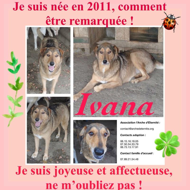 IVANA, jolie croisée berger caramel, née en 2011 - marrainée par Nathalie G. - Gage Coeur VHAK -R-LBC-SOS-SC- Ivana10