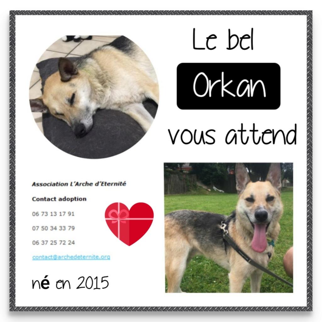 orkan - ORKAN , NE LE 10/05/2015  type berger trouvé avec une chaîne le 18 nov 2018- en FA dans le 80 - marrainé par flomyspra  -R-SOS-SC-30MA Orkan17