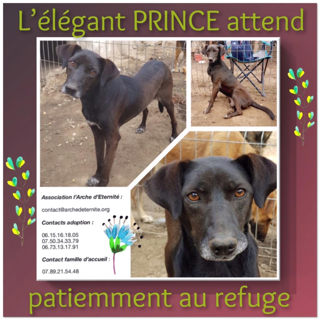 PRINCE - x braque 6 ans - (4 ans de refuge)Asso Arche d'Eternité - Lenuta (Roumanie) Prince10