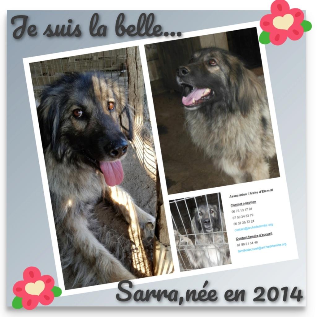 SARRA, croisée berger des Carpates née en 2014 - Parrainée par Dankesori -SC-R-SOS- Sarra11