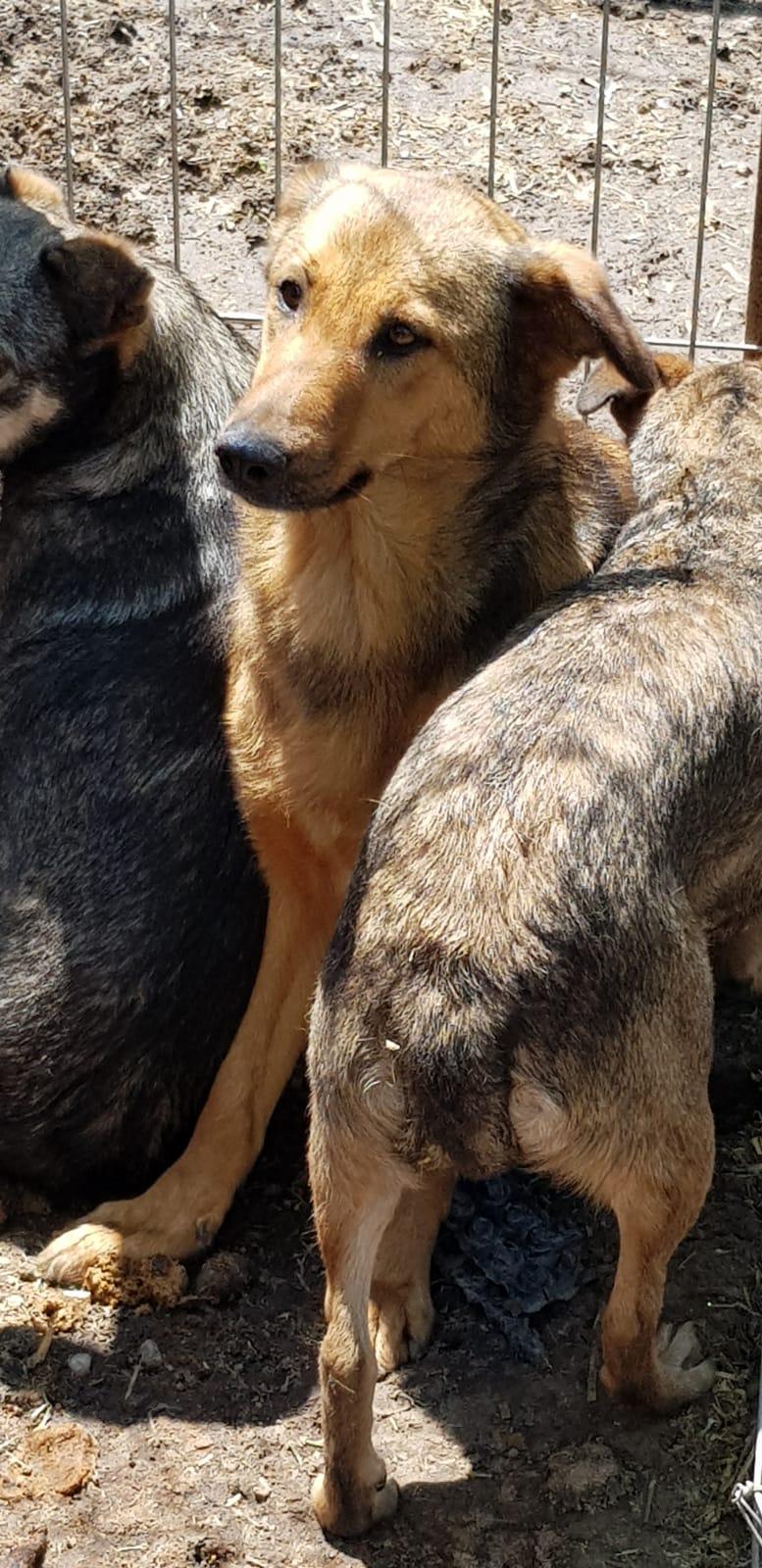 KORIA femelle née en 2015, poils court - couleur charbonnée - sortie de l'équarrissage le 11 mars 2017 - Parrainée par Mirko78 et Skara Sorina10