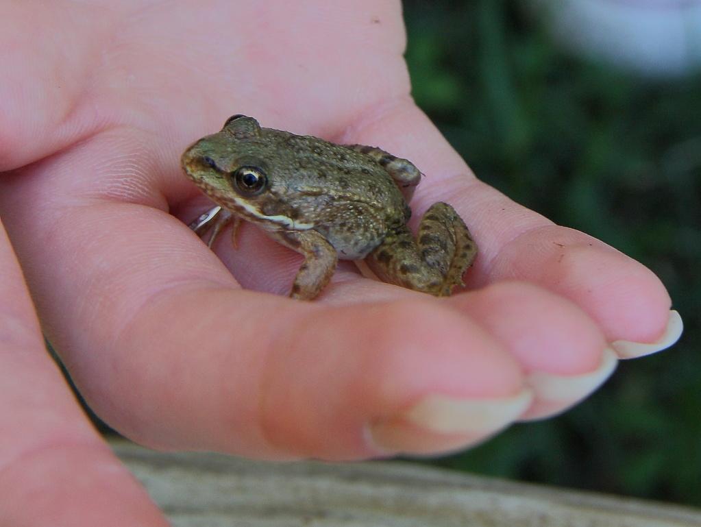[Animaux] petite grenouille Grenou11