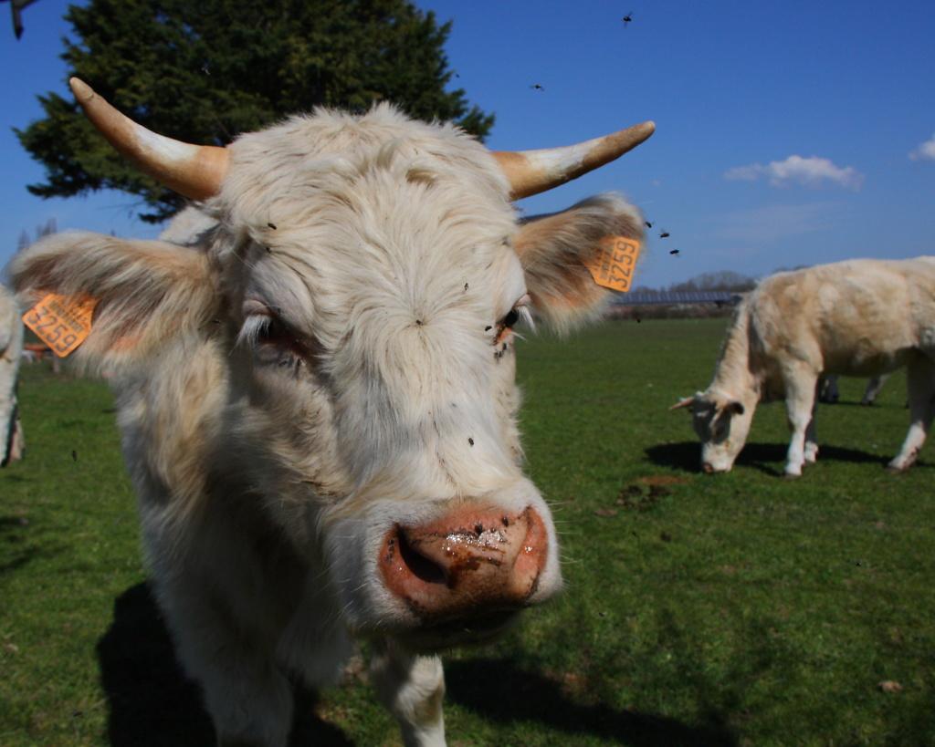 [Animaux] curieuse Vache_10