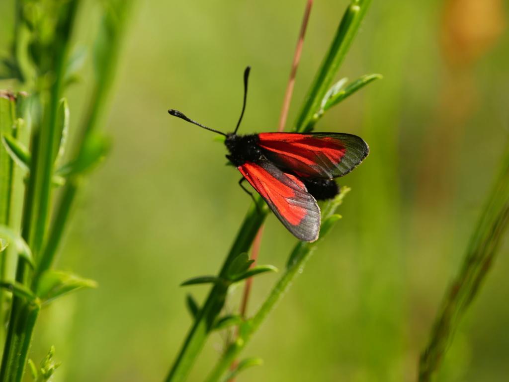 une zygène, petit papillon discret P1010210