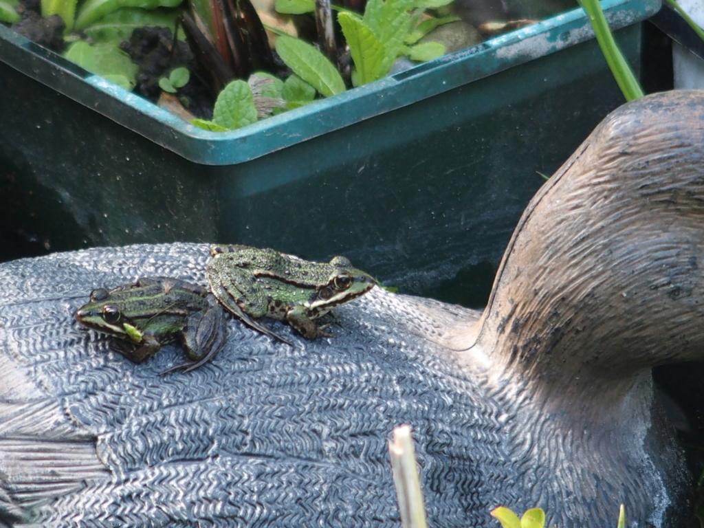 les grenouilles et le canard ...et l'hirondelle P5010210