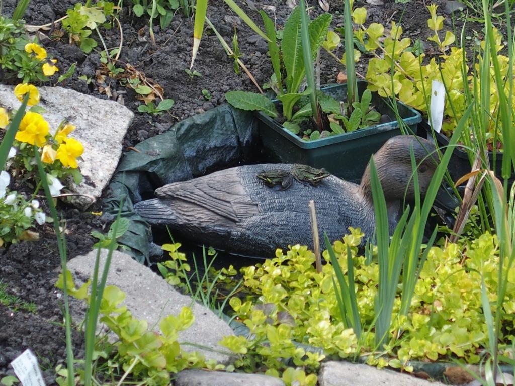 les grenouilles et le canard ...et l'hirondelle P5010211