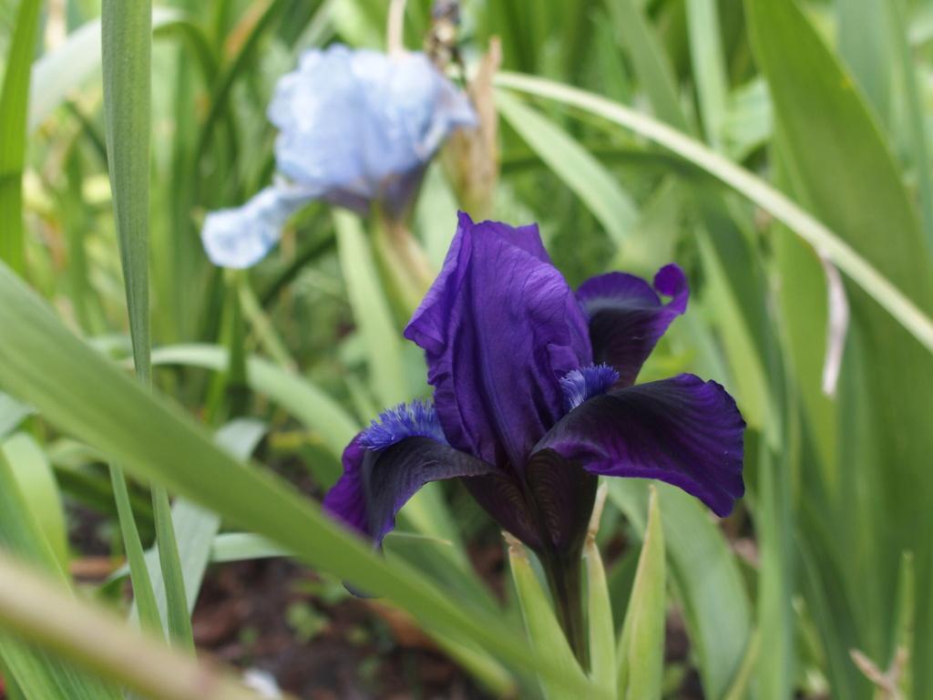 Iris 2021 - Page 2 Pumila10