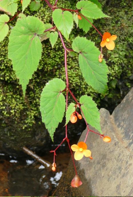 bulbilles de bégonia sutherlandii Suther10