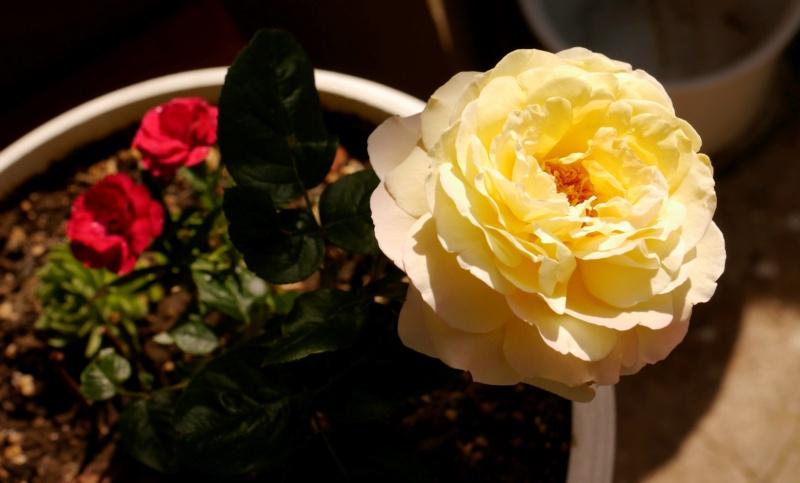 """Rosen - ein Thread für die """"Königin"""" - Seite 18 _1080349"""