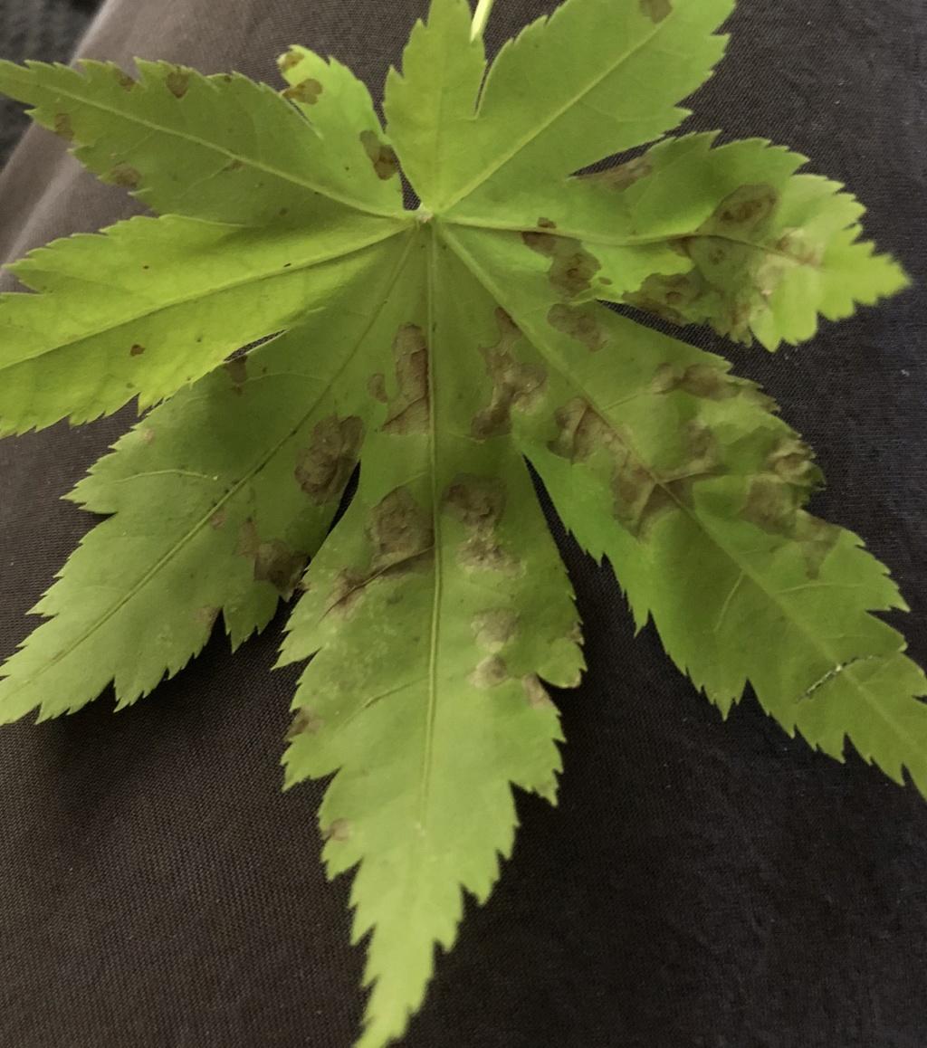 Duda con riego acer palmatum  53b76a10