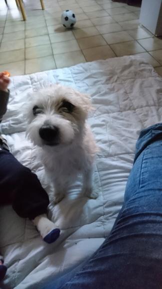 Sarah, femelle croisée yorkshire terrier/jack russel Dsc_1011