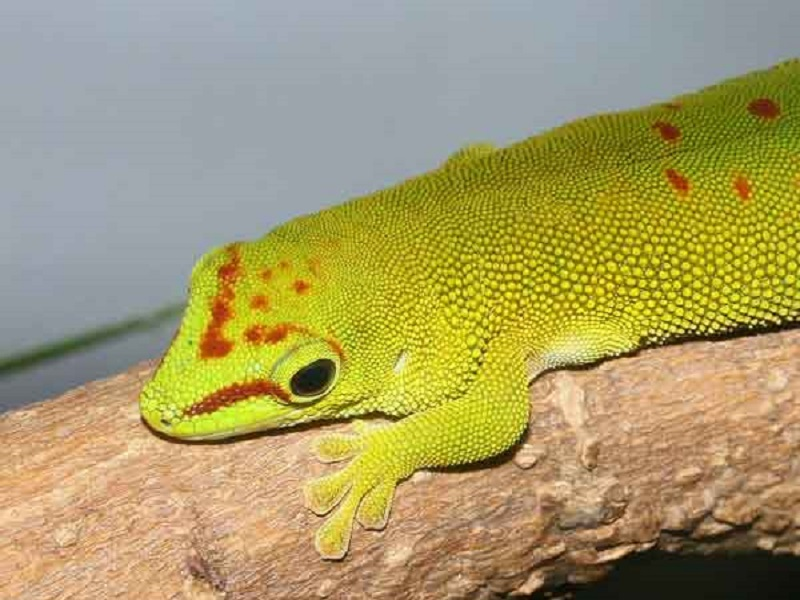 animal pour terrarium planter ? Gecko-10
