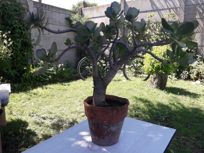Árbol de jade (crassula ovata) 20190217
