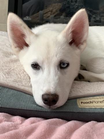Husky puppy help 2d217e10
