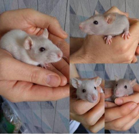 4 jeunes rats mâles disponible à l'adoption Captur10
