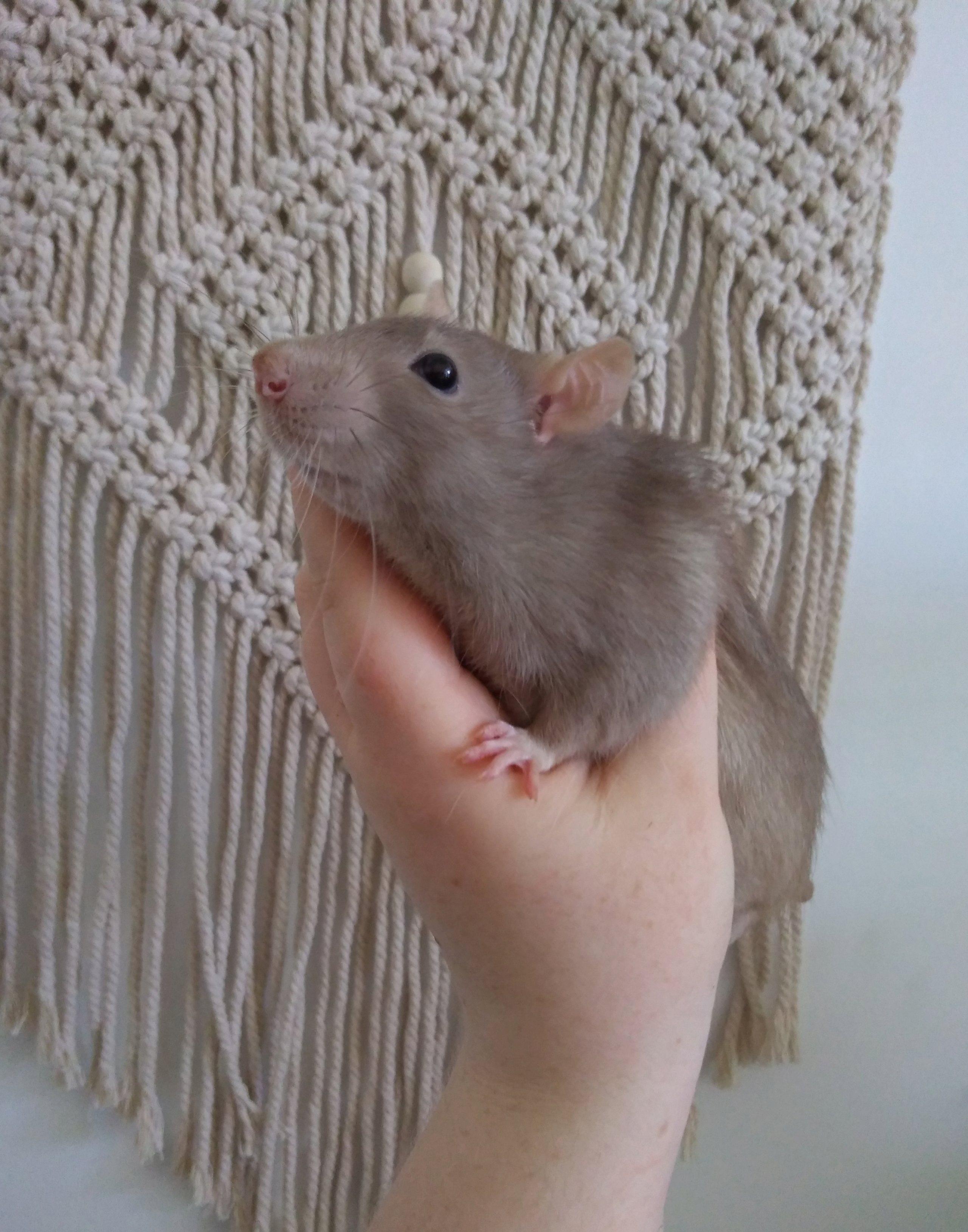 4 jeunes rats mâles disponible à l'adoption P_201910