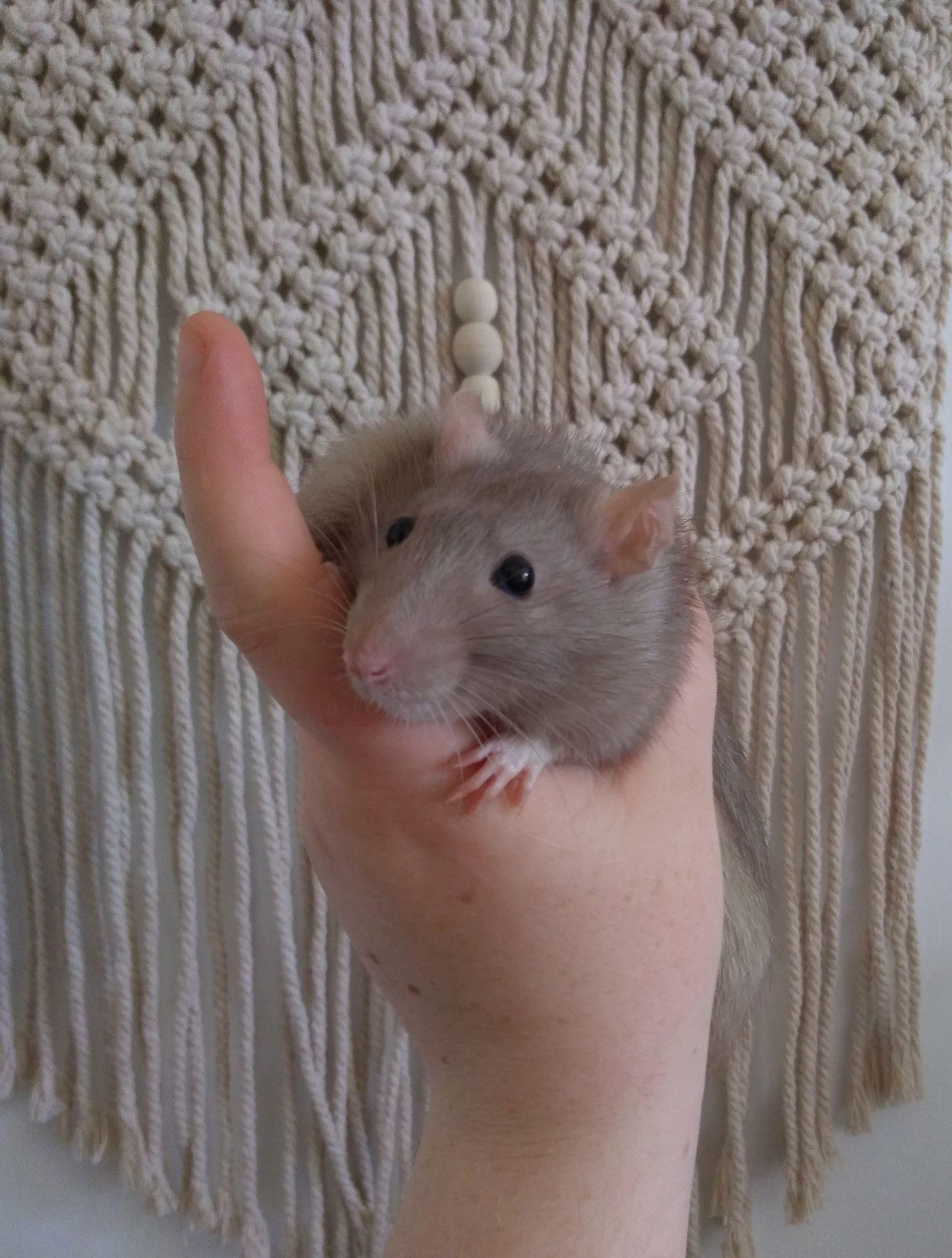 4 jeunes rats mâles disponible à l'adoption P_201911