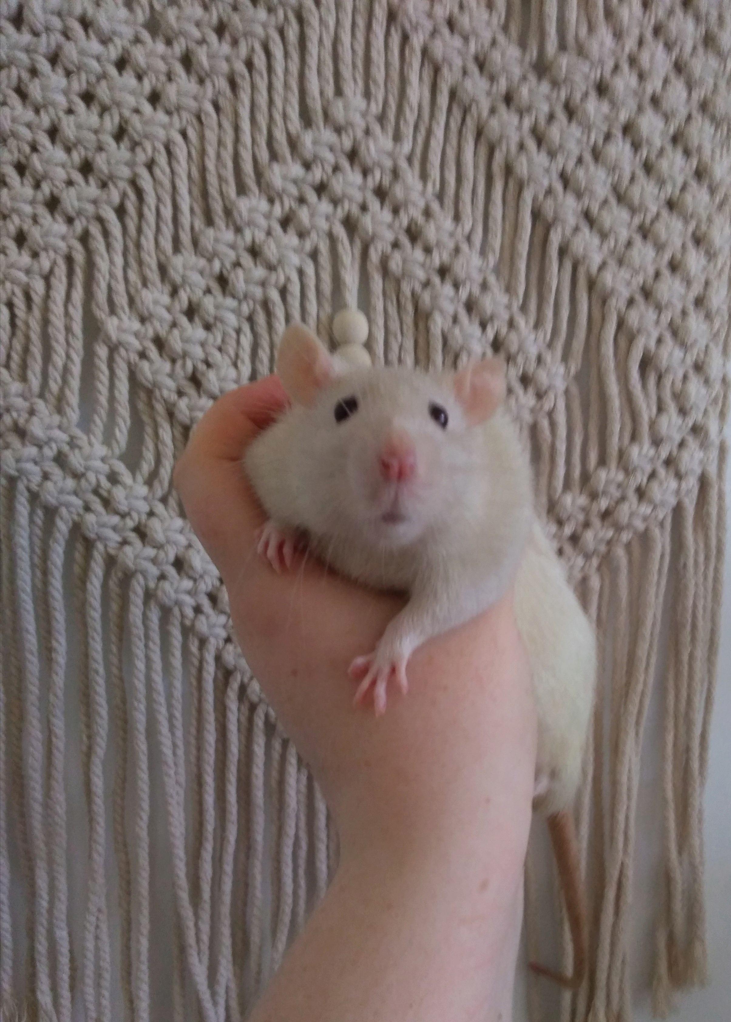 4 jeunes rats mâles disponible à l'adoption P_201912