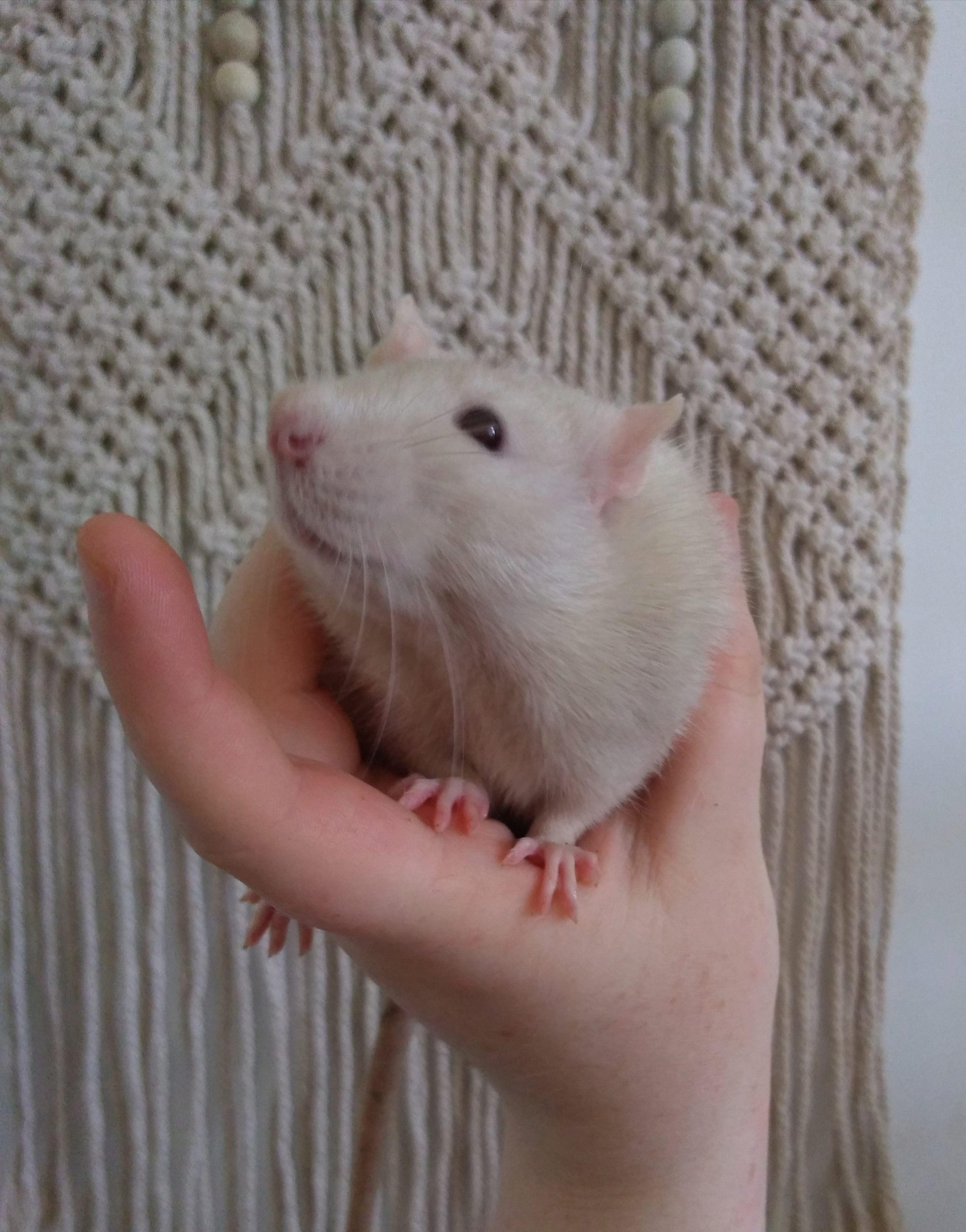 4 jeunes rats mâles disponible à l'adoption P_201913