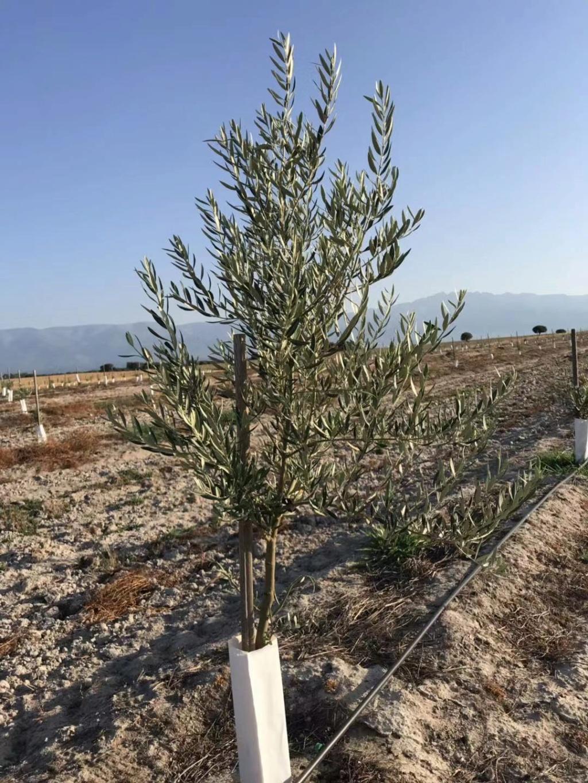 Crecimiento de plantones olivo - Página 16 1112