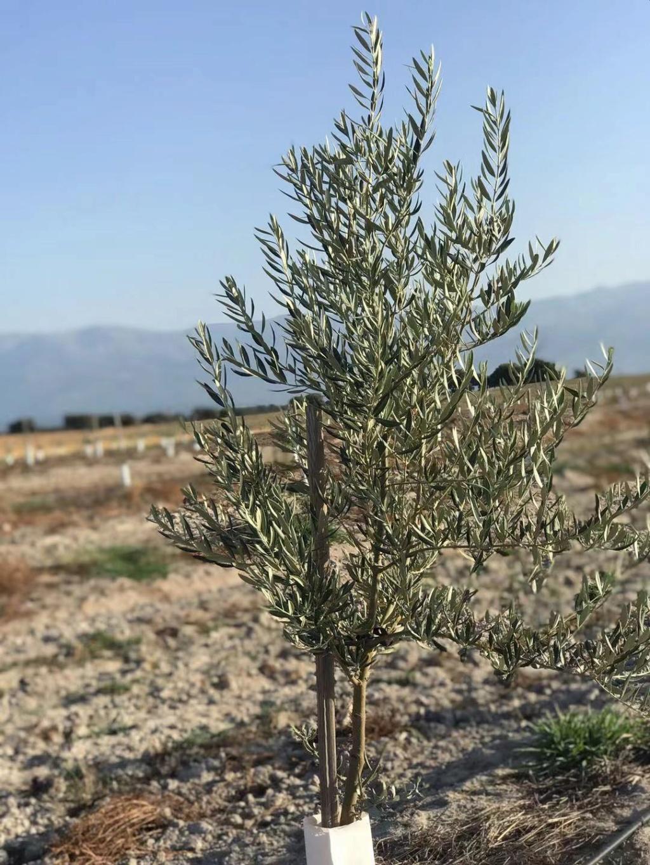 Crecimiento de plantones olivo - Página 16 1212