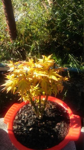 Ayudame a diseñar mi bonsai de arce palmatum 20190914