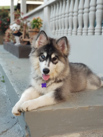 Newbie to this site and to having a Siberian Husky 20200311