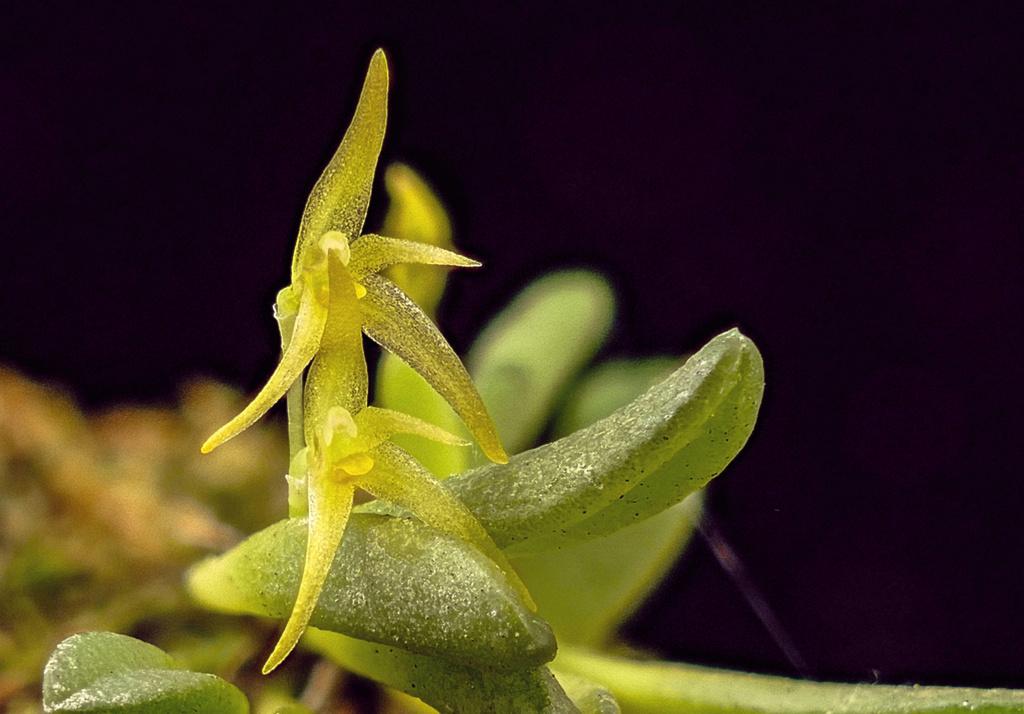 Makroaufnahmen von Miniaturorchideen Aristu10
