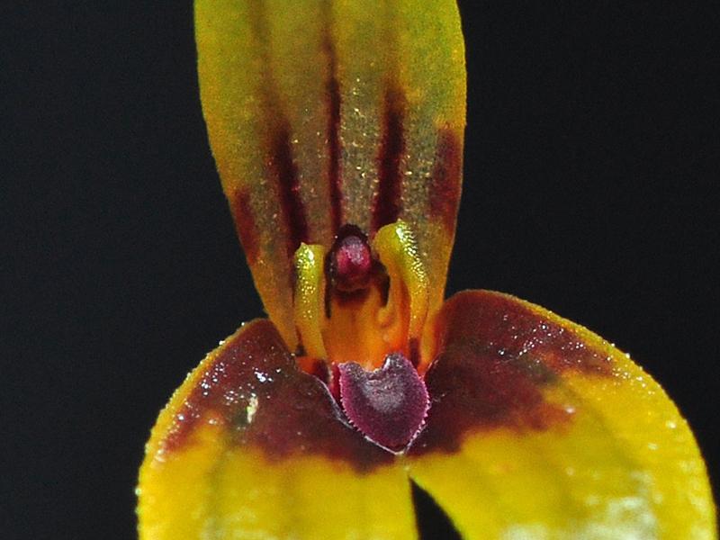 Miniatur-Orchideen Teil 6 - Seite 2 Brigha10