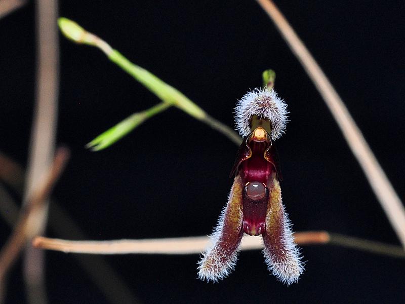 Miniatur-Orchideen Teil 6 - Seite 2 Condyl10
