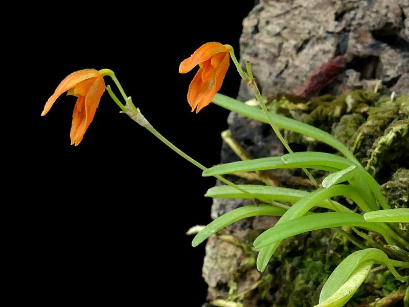 Makroaufnahmen von Miniaturorchideen - Seite 3 Glandu10