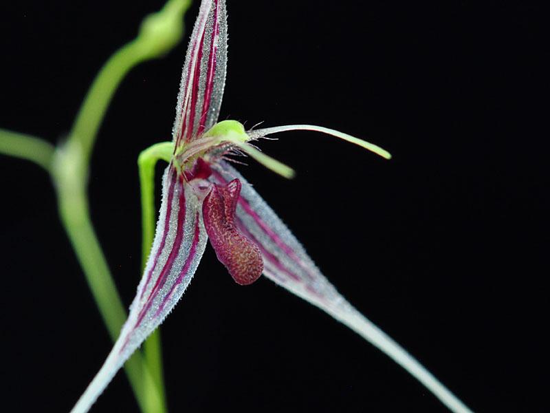 Miniatur-Orchideen Teil 6 - Seite 6 Macrob11