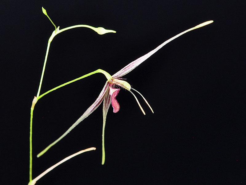 Miniatur-Orchideen Teil 6 - Seite 6 Macrob12