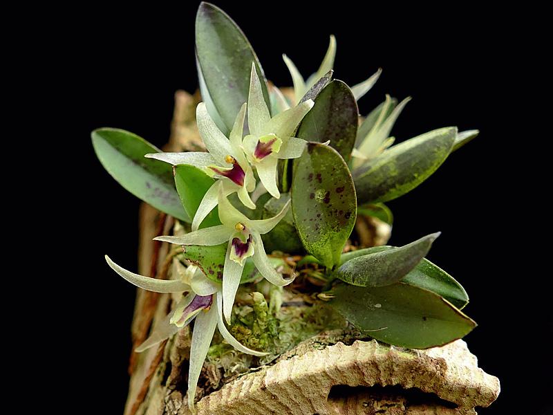 Miniatur-Orchideen Teil 6 - Seite 18 Octome10