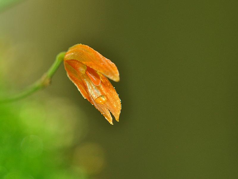 Miniatur-Orchideen Teil 5 - Seite 42 Pths_g10