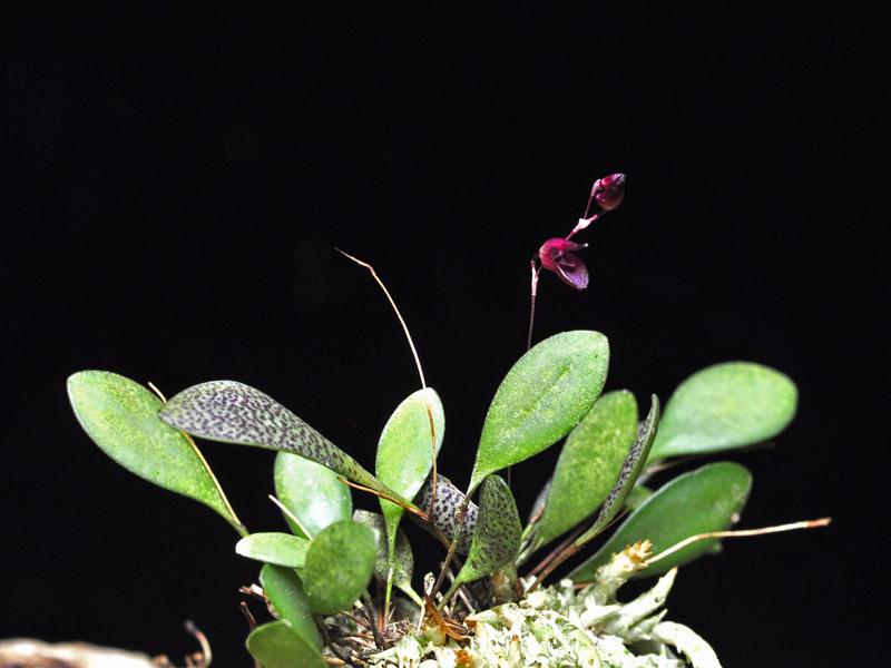 Miniatur-Orchideen Teil 6 - Seite 5 Pths_p14