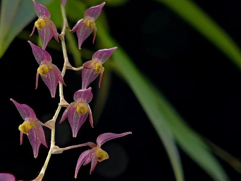 Miniatur-Orchideen Teil 6 - Seite 15 Pths_v10