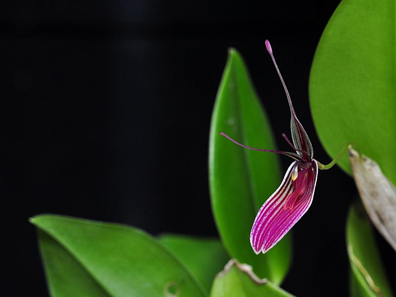 Miniatur-Orchideen Teil 6 - Seite 2 Rest_p10