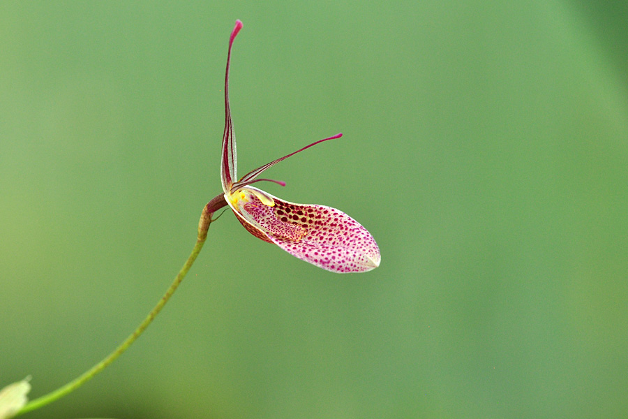 Miniatur-Orchideen Teil 5 - Seite 42 Restre10