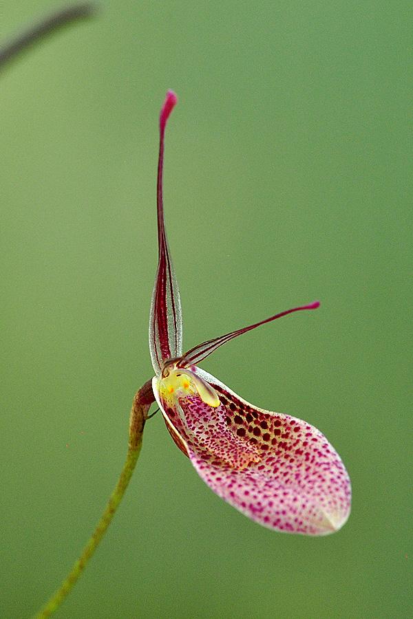 Miniatur-Orchideen Teil 5 - Seite 42 Restre11