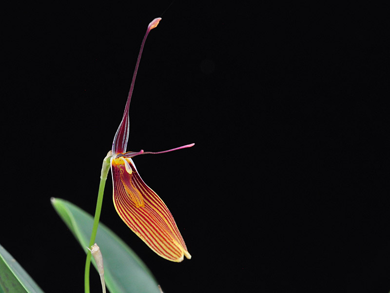 Miniatur-Orchideen Teil 6 - Seite 5 Restre13