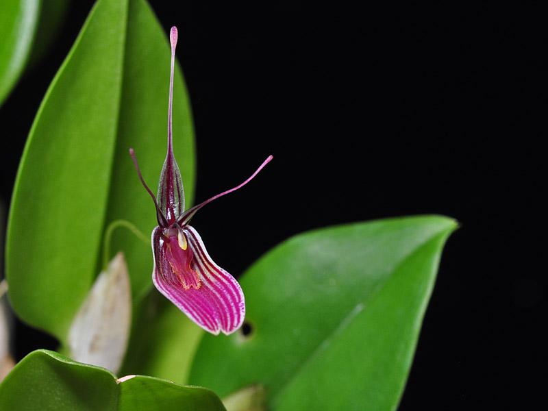 Miniatur-Orchideen Teil 6 - Seite 5 Restre14