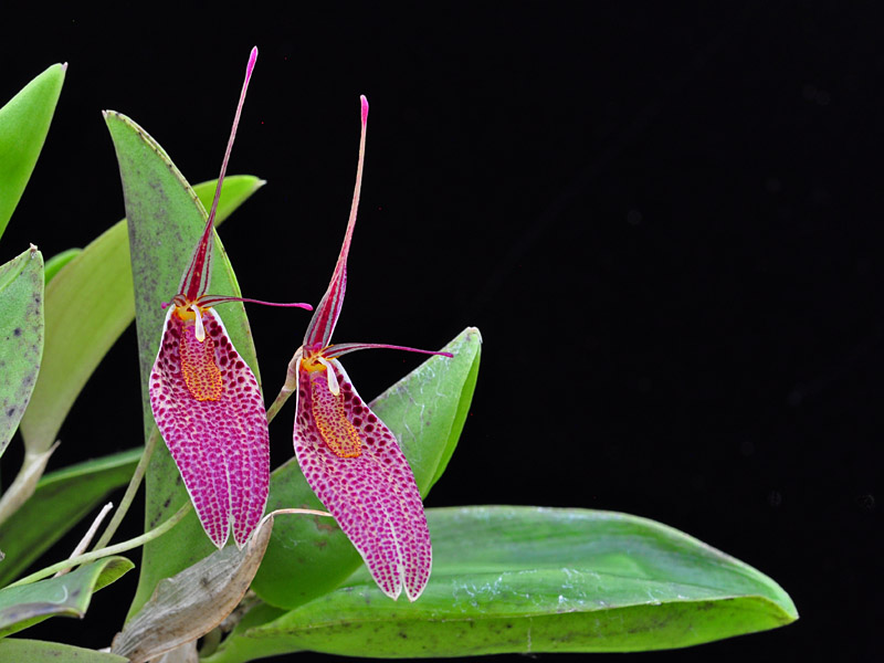 Miniatur-Orchideen Teil 6 - Seite 5 Restre15