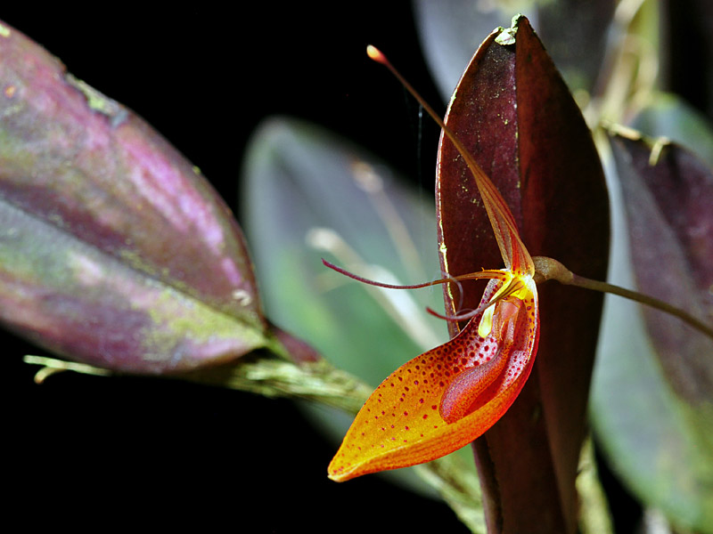 Miniatur-Orchideen Teil 6 - Seite 5 Restre16