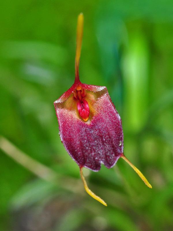 Miniatur-Orchideen Teil 6 - Seite 4 Tri_co11