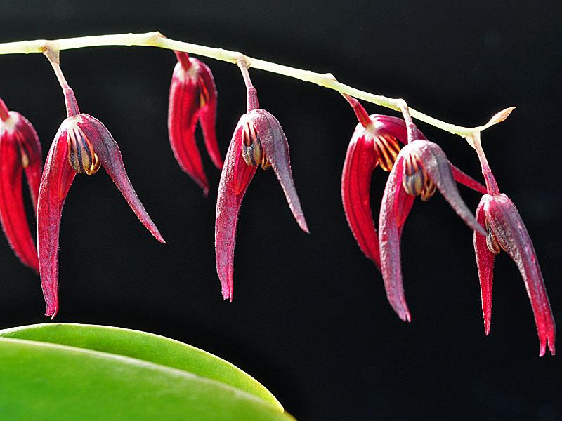 Miniatur-Orchideen Teil 6 - Seite 6 Tuerck10