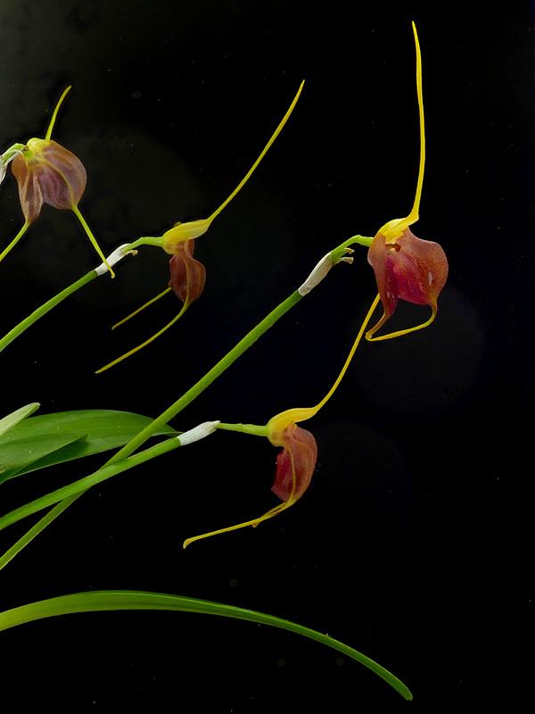 Miniatur-Orchideen Teil 6 - Seite 15 Web-an10